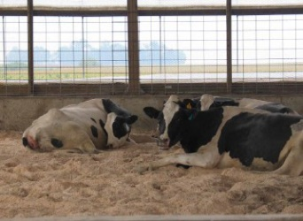 Закон о выгуле коров